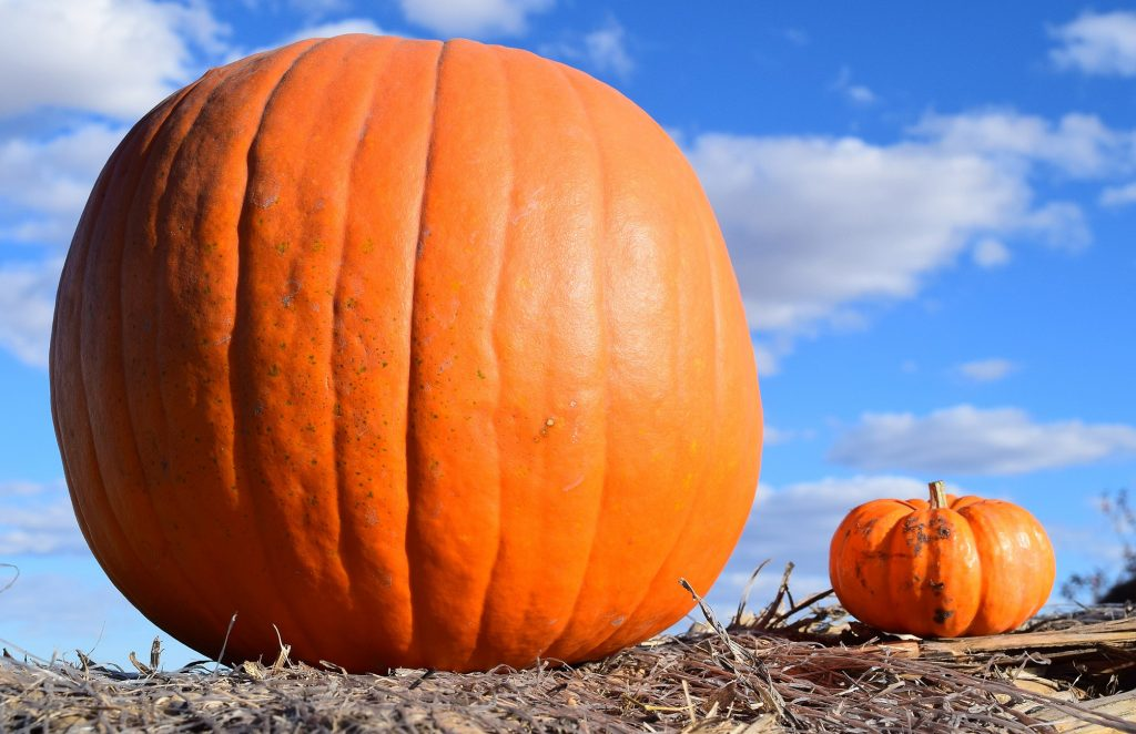Two pumpkins, one big and one small showing size.